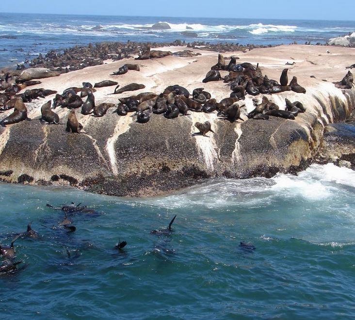 去参观距西蒙镇8海里(约16公里)的豪特湾,乘船前往著名的【海豹岛】