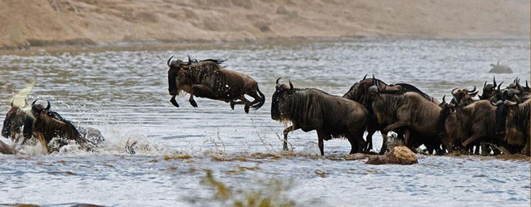 非洲草原上的【动物大迁徙】